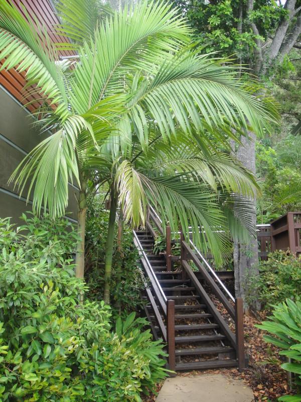Alexander Palm Palms Galore Perth