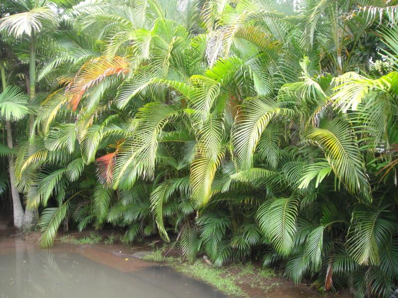 Golden Cane Palm Palms Galore Perth