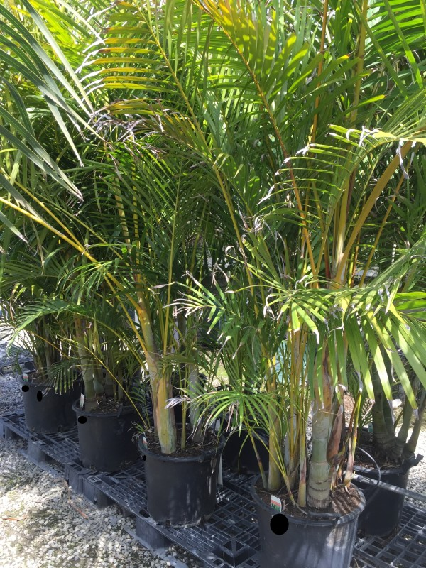 Golden Cane Palm | Palms Galore Perth